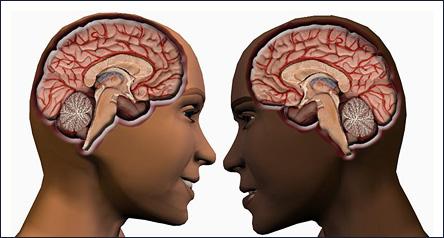 Manlig och kvinnlig hjärna